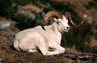A Dall's sheep ram lays on the ledge of a cliff. Denali National Park, Alaska