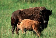 A bison cow nurses her calf in the National Bison Range, Moiese, Montana
