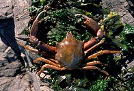 Shield_backed Kelp Crab Pugettia producta