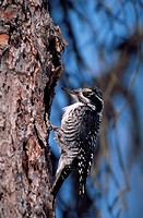 Male Northern Three_Toed Woodpecker