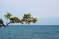 pistachio_tree