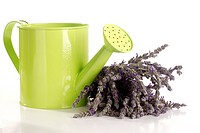 Lavender and Watering Can