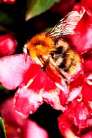 Bumblebee, Bombus agrorum, on red blossoms