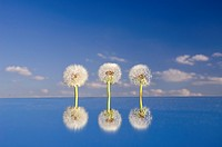 three dandelion clocks on mirror