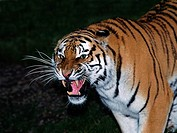 Siberian Tiger, panthera tigris altaica, Adult snarling