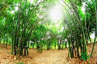 Bamboo forest. Asian Bamboo forest with morning sunlight