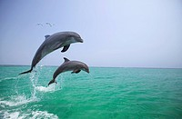 Bottlenose Dolphins Tursiops truncatus, Caribbean Sea