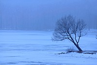 Single tree in winter