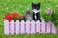 Kitten, two sitting in plant pot holder in garden, Lower Saxony, Germany