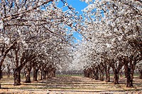 Cherry blossom tree in the Luberon southern France, Vaucluse, 84, PACA, France, Europe
