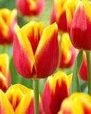 Tulipa Residence