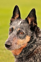 A female Australian Cattle Dog, or Queensland Blue Heeler, who is hearing impaired, at a park in Tucson, Arizona, USA