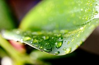 Photographed water droplets on the leaf of an orchid