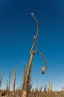 boojum trees, cirios, fouquieria columnaris, valle de los cirios, central desert, national park, baja, Mexico, sky, blue