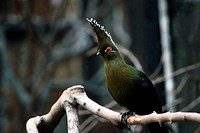 turaco, bird, animal, branch,