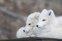 CAPTIVE: Two Arctic Foxes in their white phase resting on the ground, Yukon Wildlife Preserve, Yukon Territory, Canada