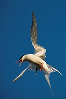 Arctic Tern in flight under the midnight sun, Spitsbergen Island, Svalbard, Norway, Summer