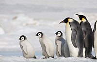 Emperor Penguin adults and chicks on frozen sea ice of Weddell Sea, Snow Hill Island, Antarctica