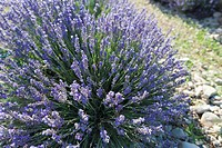 France, Drome, Piegros_la_Clastre, Close_up of lavender in field
