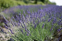 Close_up of lavender in field
