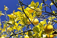 A lemon tree with ripe fruits