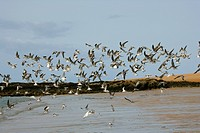 Africa, Guinea_Bissau, Flock of seagulls on shore