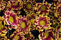 Group of chrysantemums