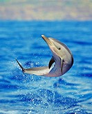 pantropical spotted dolphin calf, Stenella attenuata, leaping, Kona Coast, Big Island, Hawaii, USA, Pacific Ocean