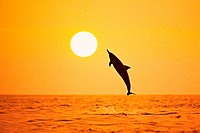 silhouette of Hawaiian spinner dolphin, Stenella longirostris longirostris, leaping at sunset, Kealakekua Bay, Big Island, Hawaii, USA, Pacific Ocean,...