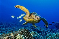 green sea turtle, Chelonia mydas, endangered species, with cleaning reef fish - convict tang, Acanthurus triostegus, and gold-ring surgeonfish, Ctenoc...