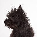 Studio portrait of black dog