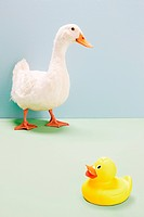 Duck standing by rubber duck, studio shot