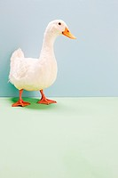 Duck standing in studio shot