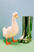 Duck standing by Wellington boots, studio shot