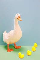 Duck standing by toy ducks, studio shot