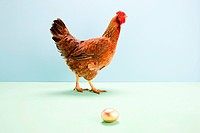 Hen walking passed golden egg, studio shot