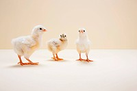Three chicks against beige background, studio shot