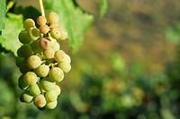 Cluster of white grapes in Valencia del Sil, Orense, Spain