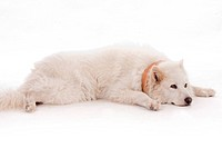 White dog relaxing on the floor