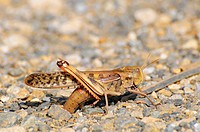 Locust laying eggs, Japan