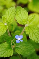 Veronica montana, Wood Speedwell, Wales