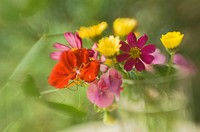 Pink Sweet Peas, Red Cosmos,Yellow Calendula, Orange Nasturtium Flower Bouquet. Lens Baby image