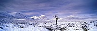 Dead tree, Rannoch Moor in winter after fresh snow fall, Scotland.