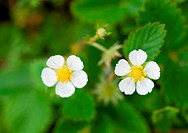 Wild strawberry flowers