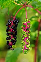 Infructescences of American Pokeweed Phytolacca americana in different stages of maturity
