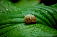 Snail on a green leave