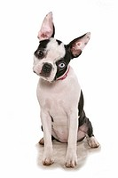 Boston Terrier dog _ sitting _ cut out