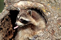North American Raccoon,Procyon lotor,Montana,USA,North America,adult female at den