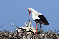 White Stork,Ciconia ciconia,Philippsburg,Germany,Europe,adult with youngs on nest feeding