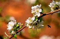 Branch of a blossoming apple tree